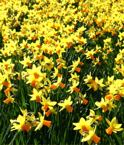 Yellow daffodils as far as the eye can see