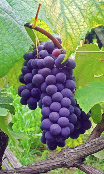 These delicious grapes will make great wine that ages well