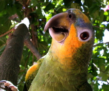 A mostly green parrot looks quizzically at you