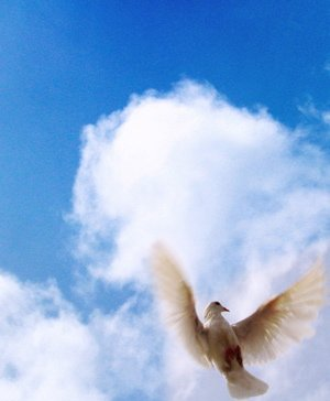 A wood pigeon flies to the sky